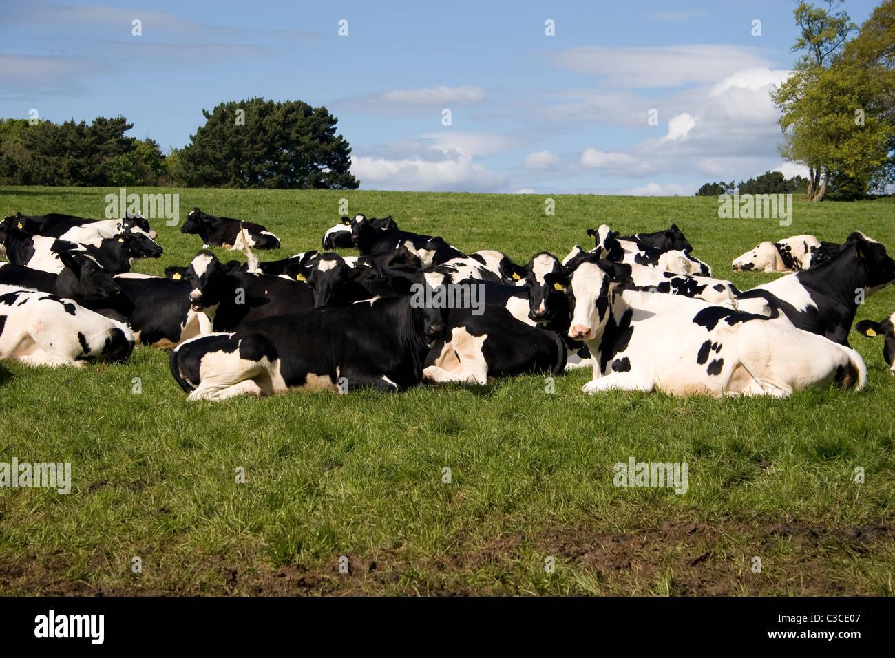 Herde  Herde friesischen jungen Bullen Kühe Rinder Feld unten schwarz ...