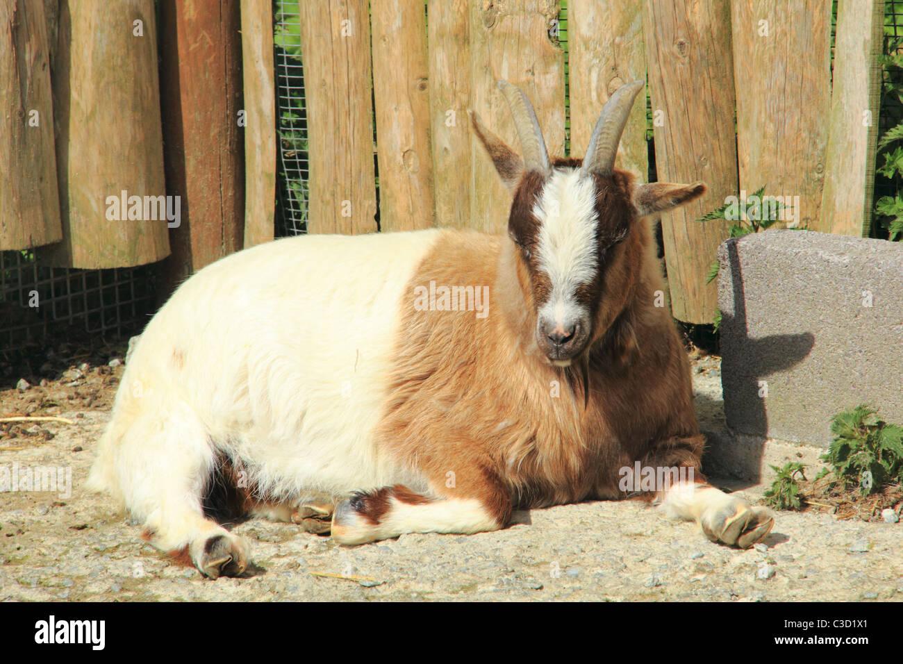 Ziege In Der Sonne Liegen Stockfoto Bild 36551593 Alamy