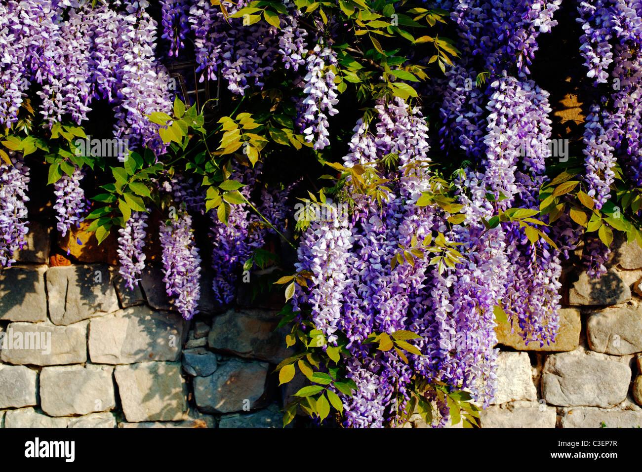 wisteria wall stockfotos wisteria wall bilder alamy. Black Bedroom Furniture Sets. Home Design Ideas