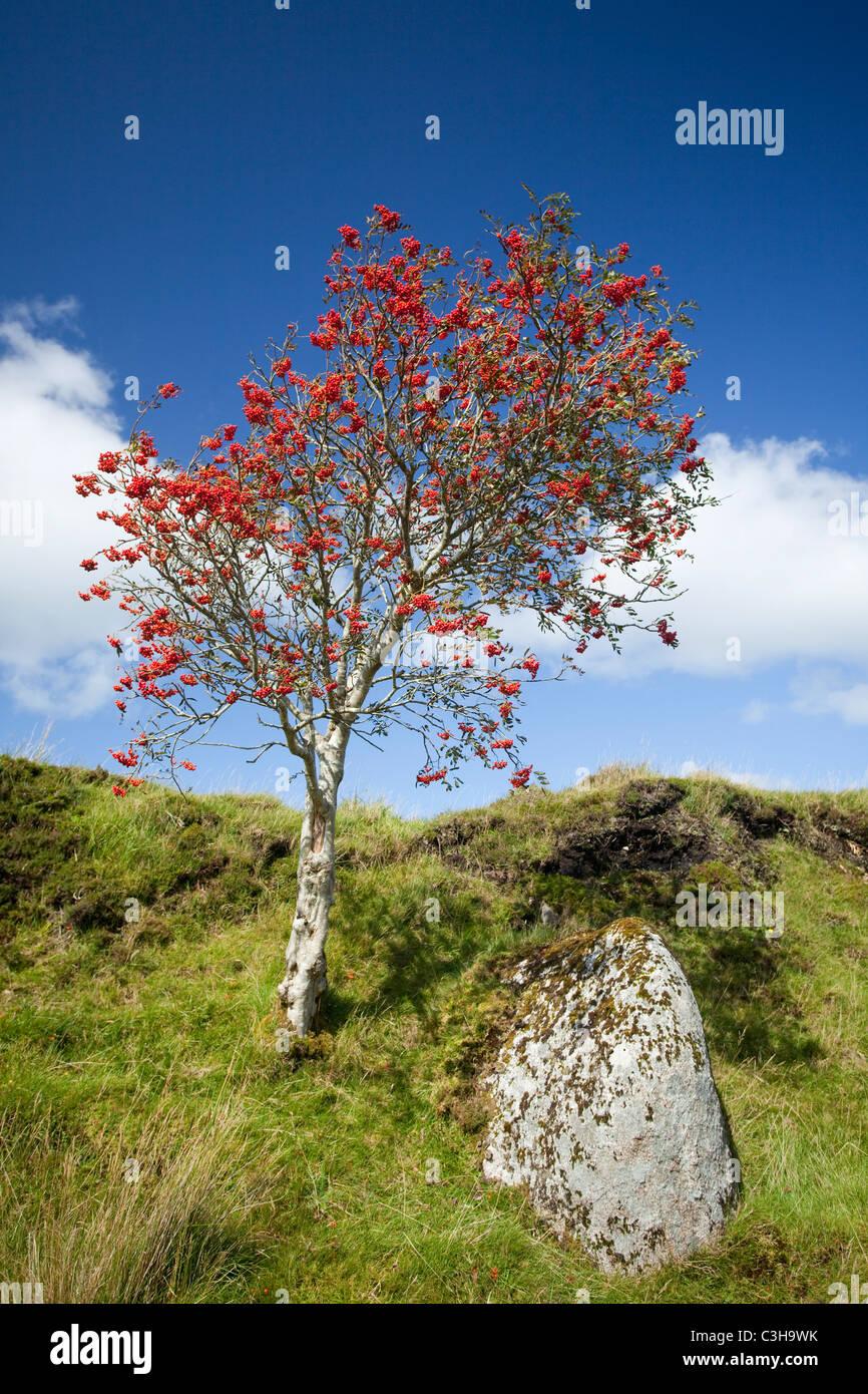 Herbst Beeren auf einem Berg Esche (Sorbus aucuparia), Ox Mountains, County Sligo, Irland. Stockbild