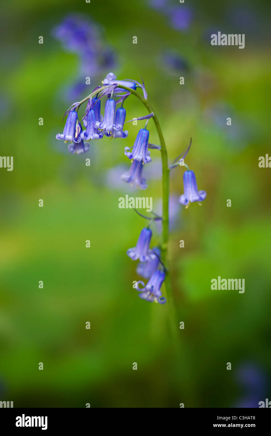 Englischen Bluebells - Hyacinthoides non-scripta Stockbild
