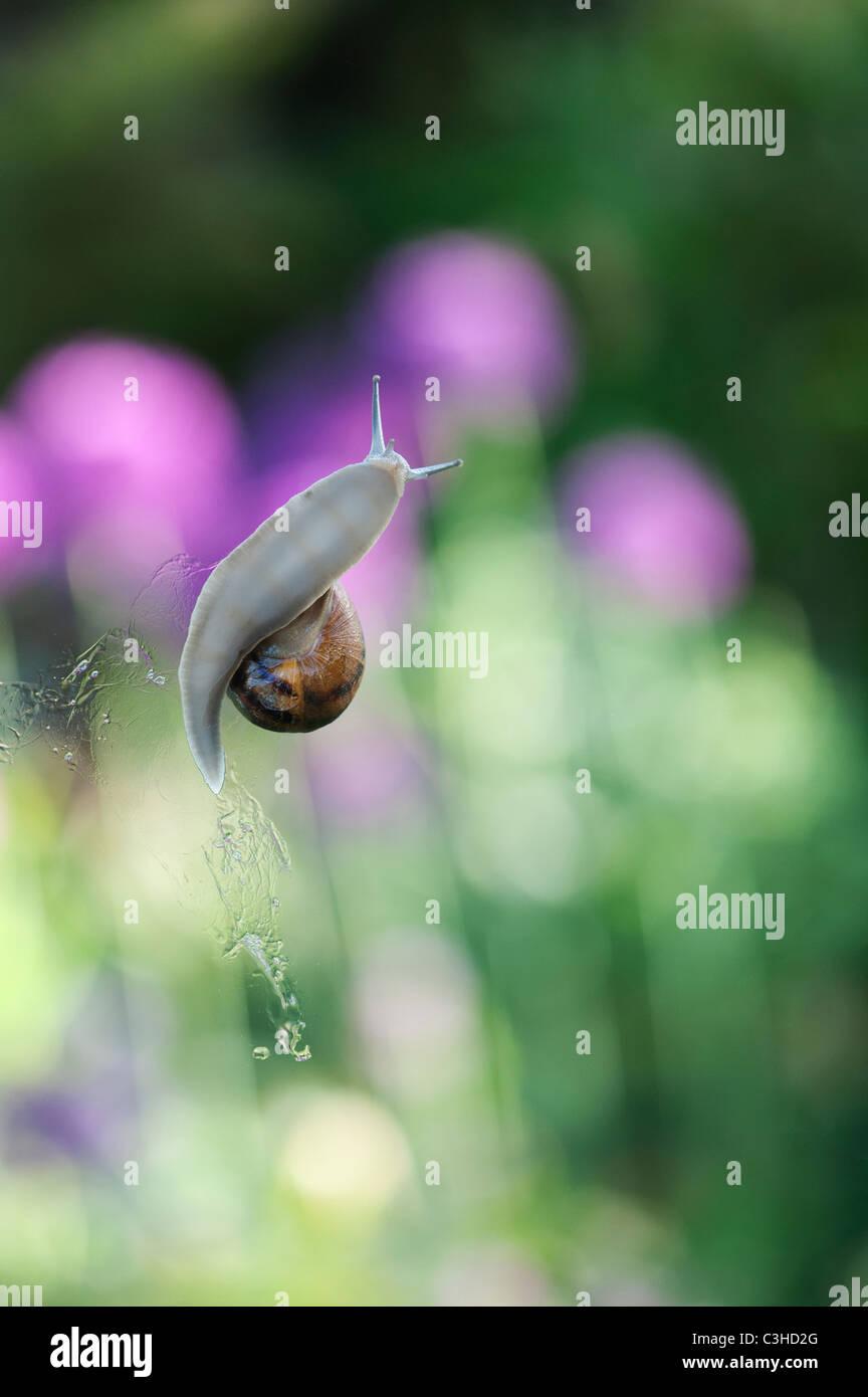 Garten-Schnecke auf Gewächshausglas Stockbild