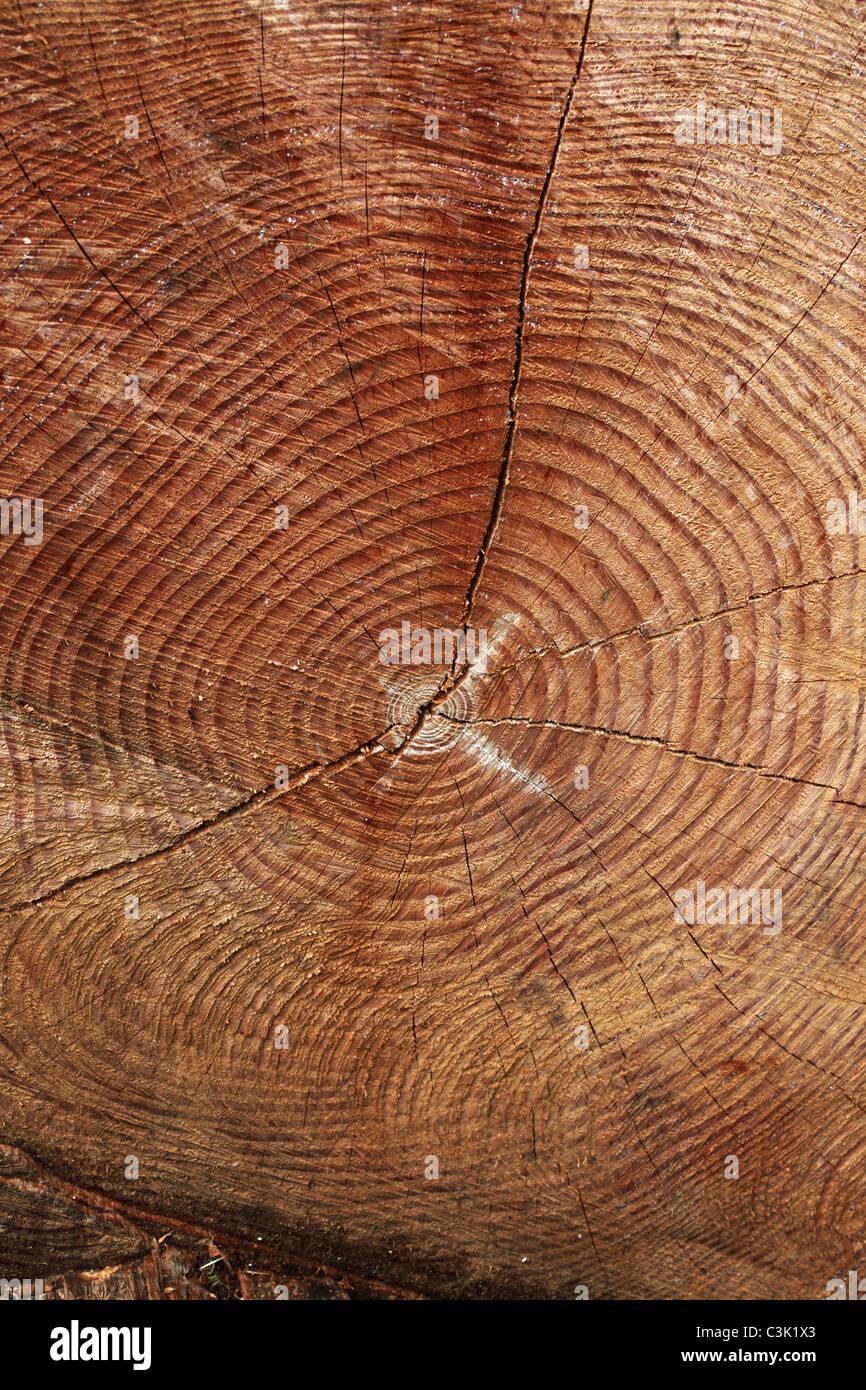 Wachstum Ringe auf einem gefällten Baum in Westonbirt Arboretum, Gloucestershire Stockbild