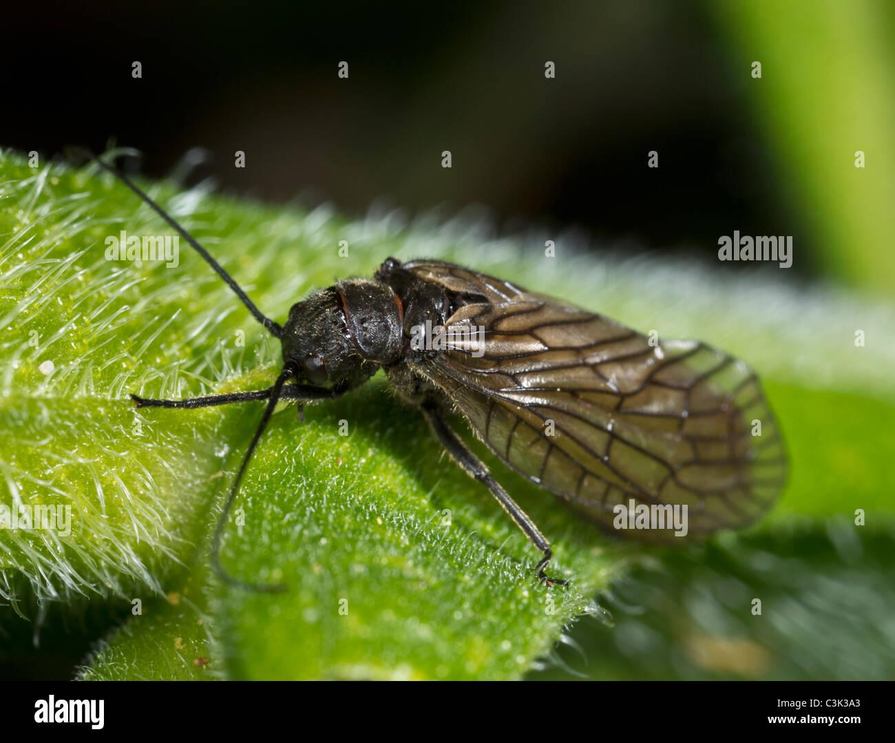 Erle fliegen (Sialis Lutaria), Erwachsene Stockbild