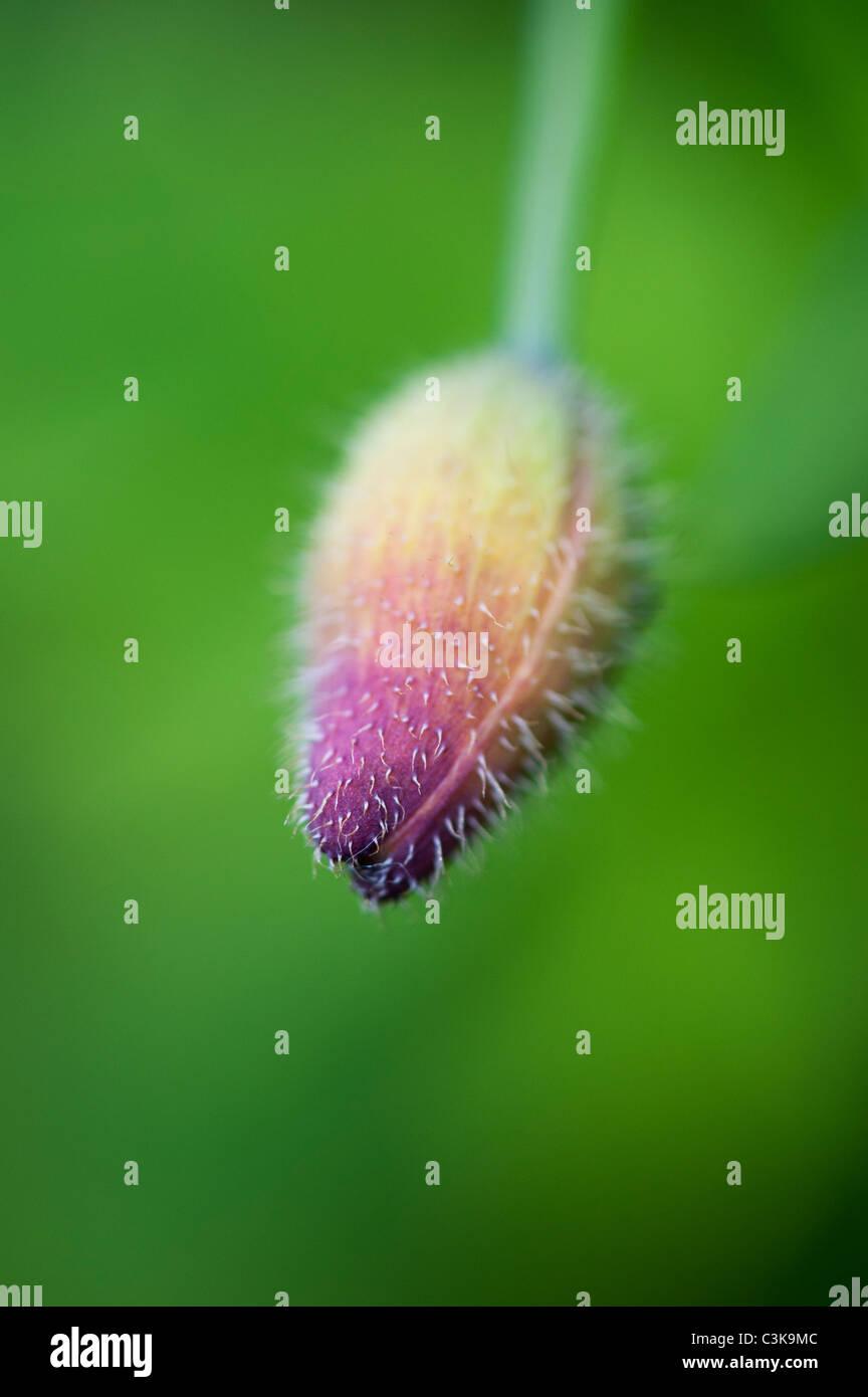 Meconopsis Cambrica. Welsh Poppy Flower Bud vor einem grünen Hintergrund Stockbild