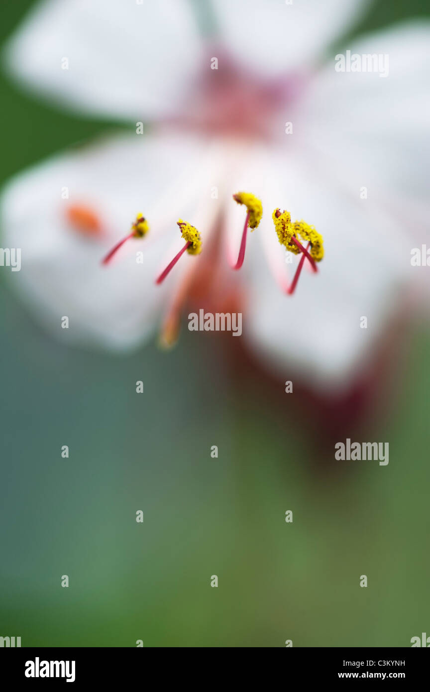 Geranium Macrorrhizum 'Album' Blume. Felsen-Storchschnabel. Antheren und Pollen hautnah Stockbild