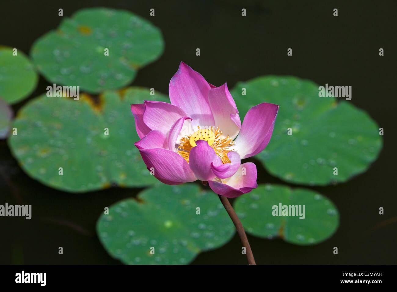 Indonesien, Insel Bali, in der Nähe von Tejakula Dorf, Gaia Oasis Resort. Lotus-Blume. Stockfoto