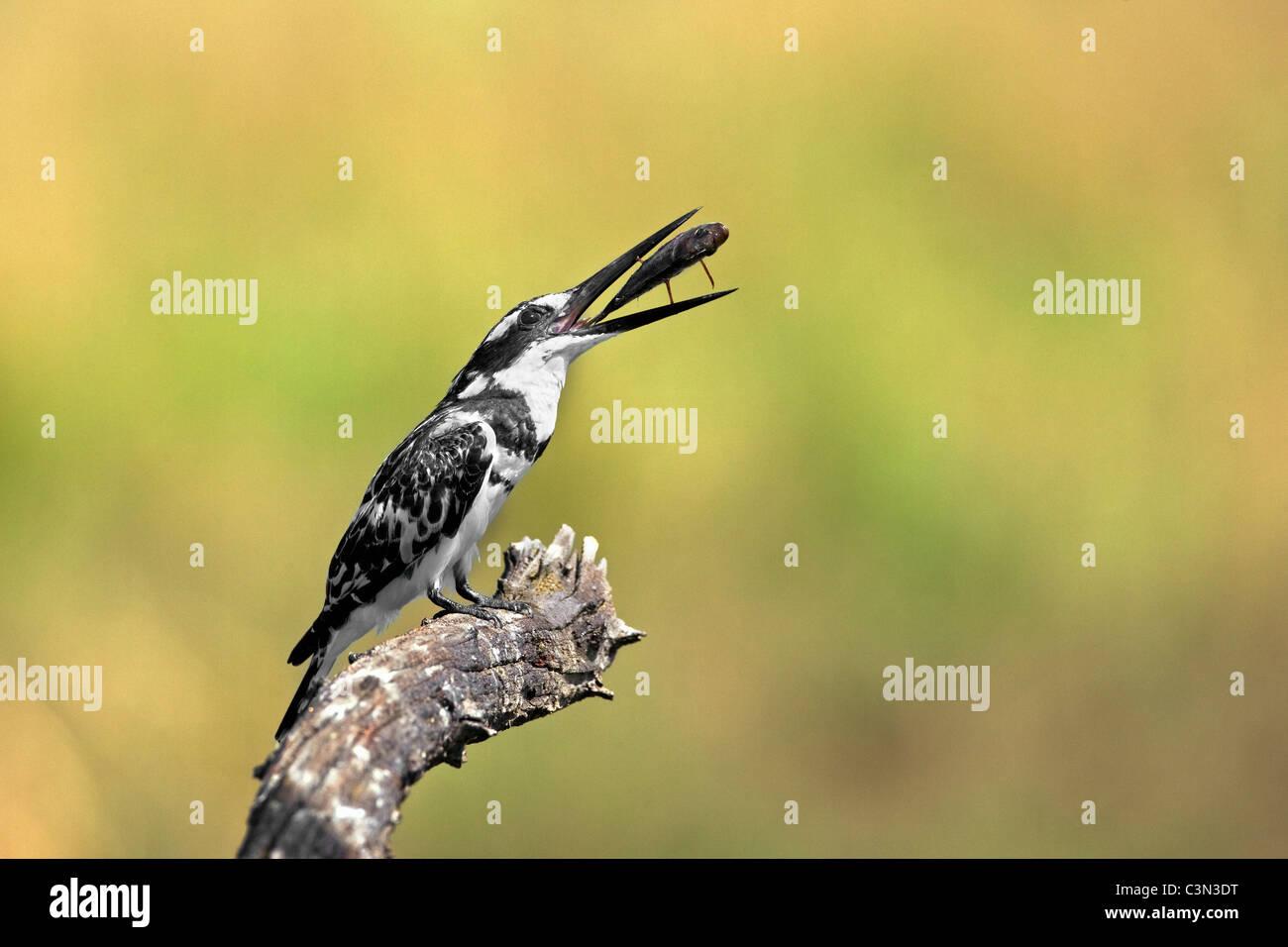 In der Nähe von Rustenburg, Südafrika Pilanesberg National Park. Mankwe ausblenden. Pied Kingfisher. (Ceryle Rudis) Stockfoto