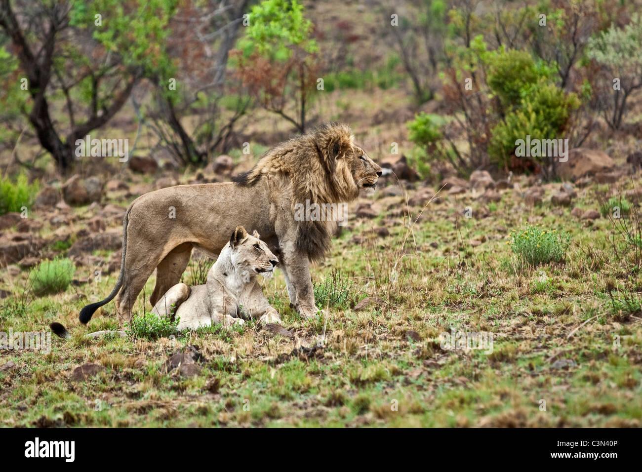 In der Nähe von Rustenburg, Südafrika Pilanesberg National Park. Löwen. (Panthera Leo). Balz-Verhalten. Stockbild