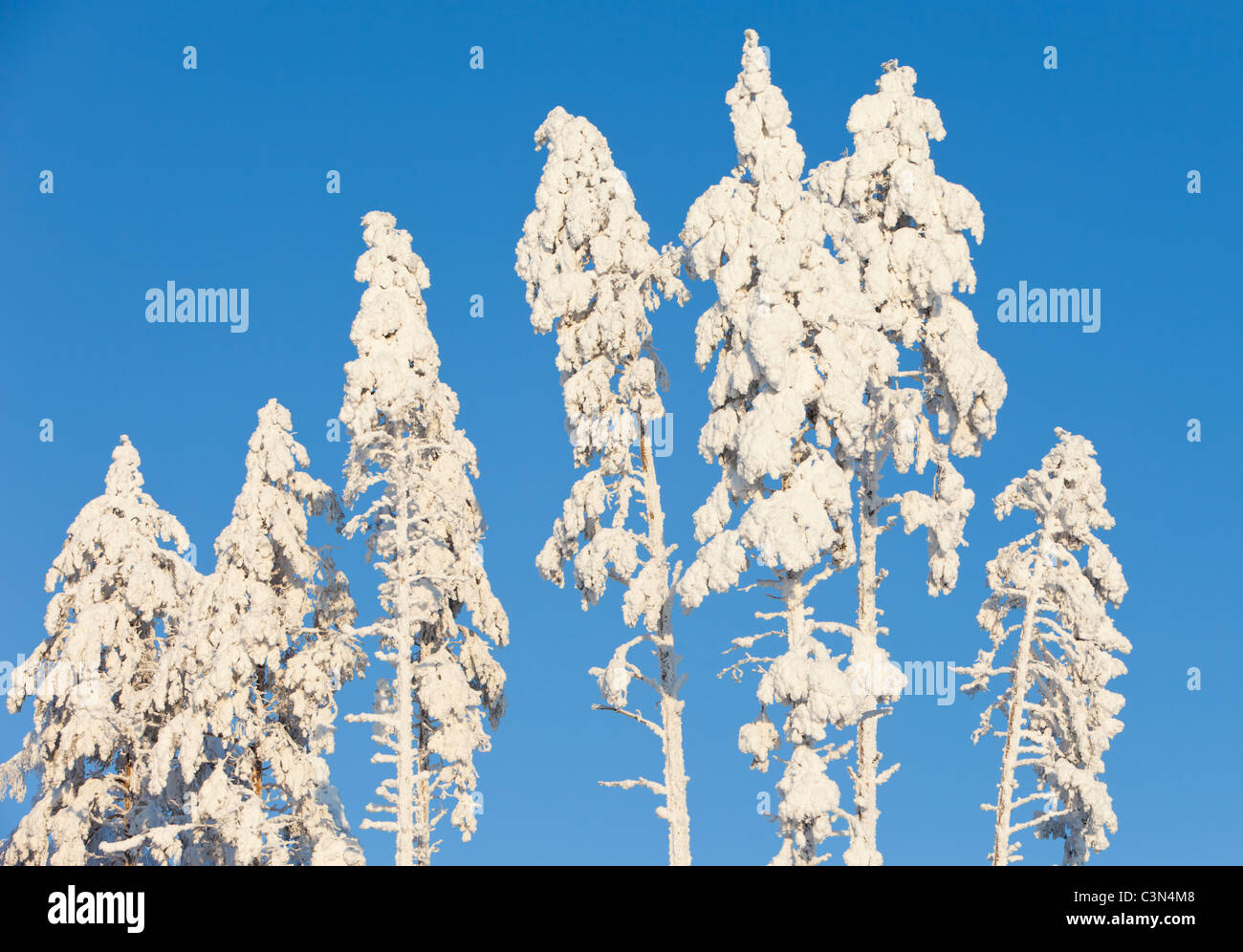 Verschneite Baumwipfel Kiefer (Pinus Sylvestris) im winter Stockbild