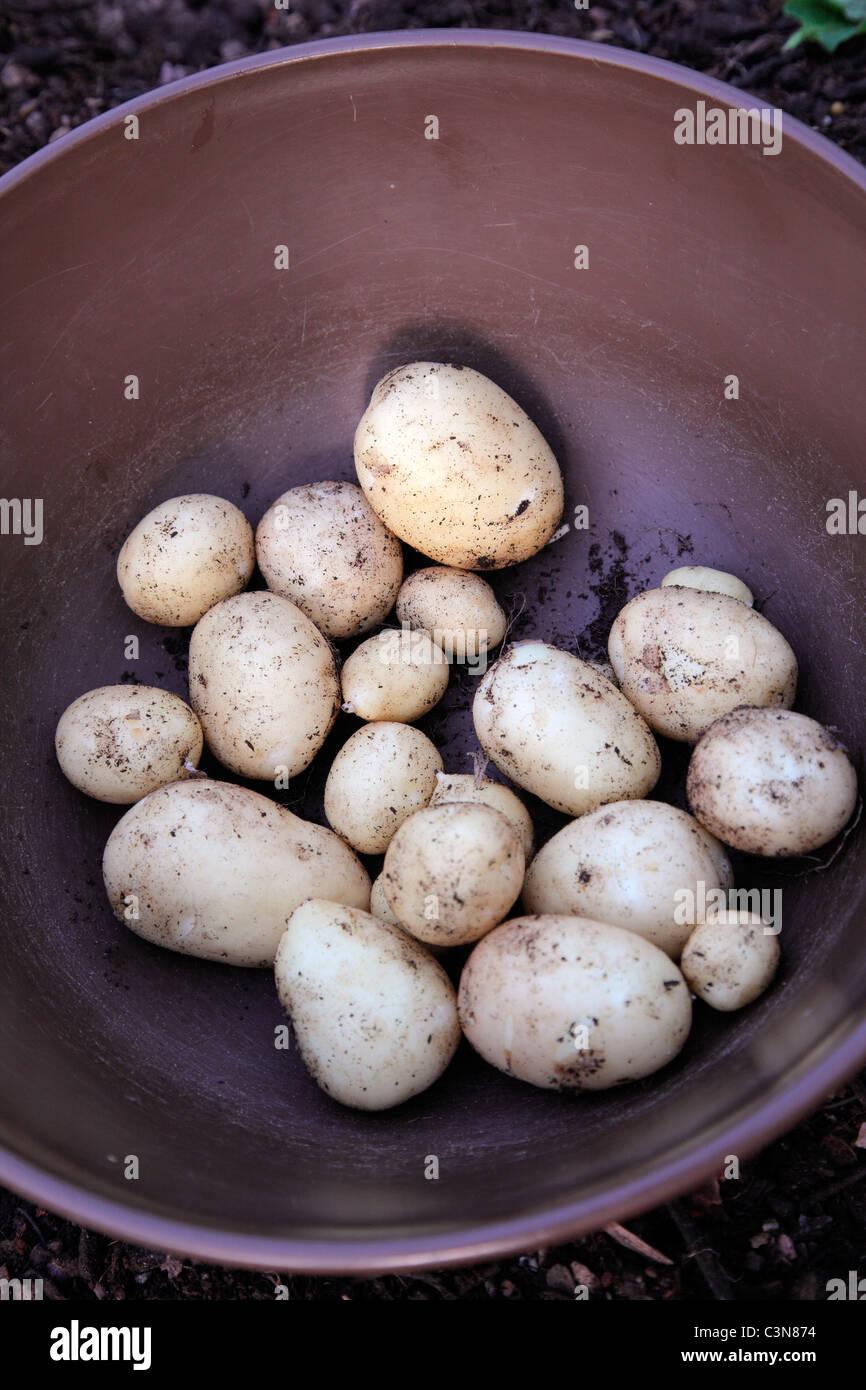 """Neue Kartoffelsorte """"Accord"""" 22 Februar in 20 Liter Topf gepflanzt und geerntet 8. Mai - Ausbeute aus Stockbild"""