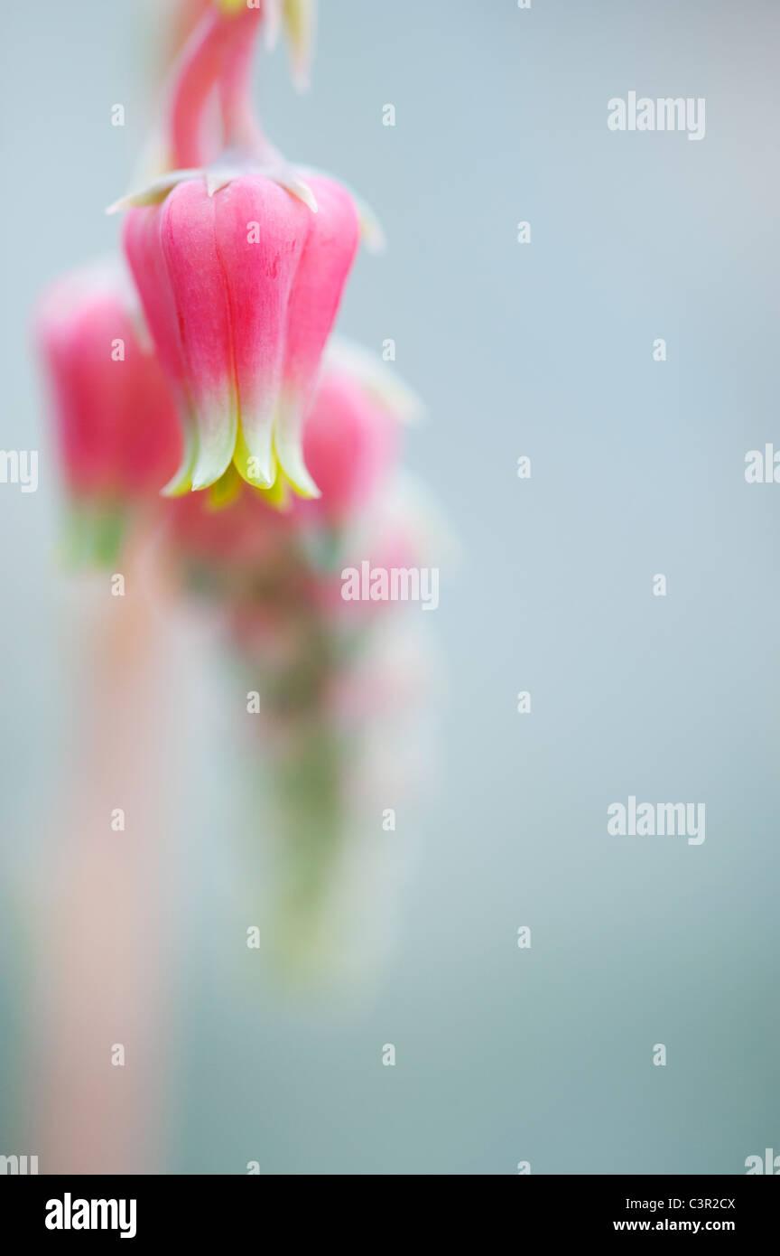 Echeveria Sanchez-Mejoradae-Blumen Stockbild