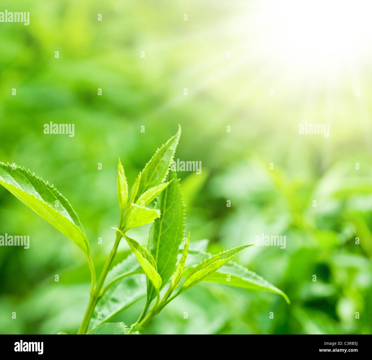 Teeblätter auf einer Plantage in den Strahlen des Sonnenlichts. Stockbild