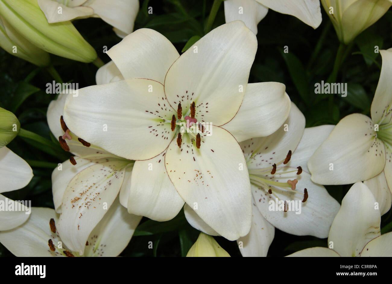 Lilie - Lilium Eyeliner Stockbild