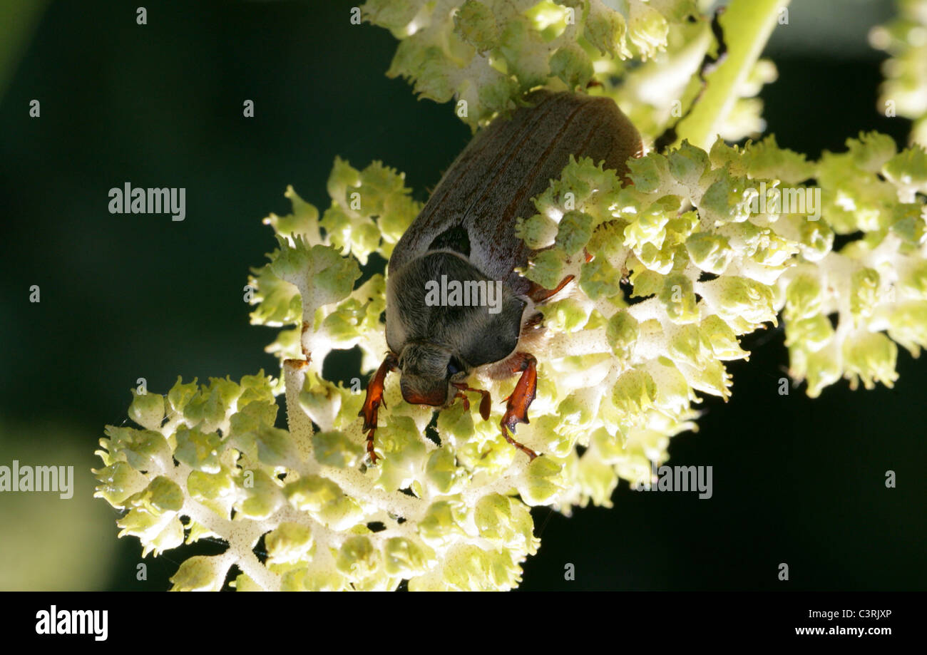 Maikäfer oder Maikäfer Melolontha Melolontha, Melolonthinae, Poxviridae, Coleoptera. Stockfoto