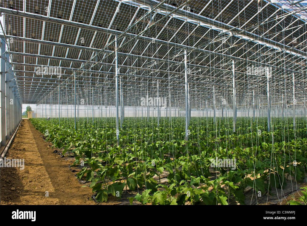 Wachsende Auberginen Photovoltaik Solar Gewachshaus Merlino