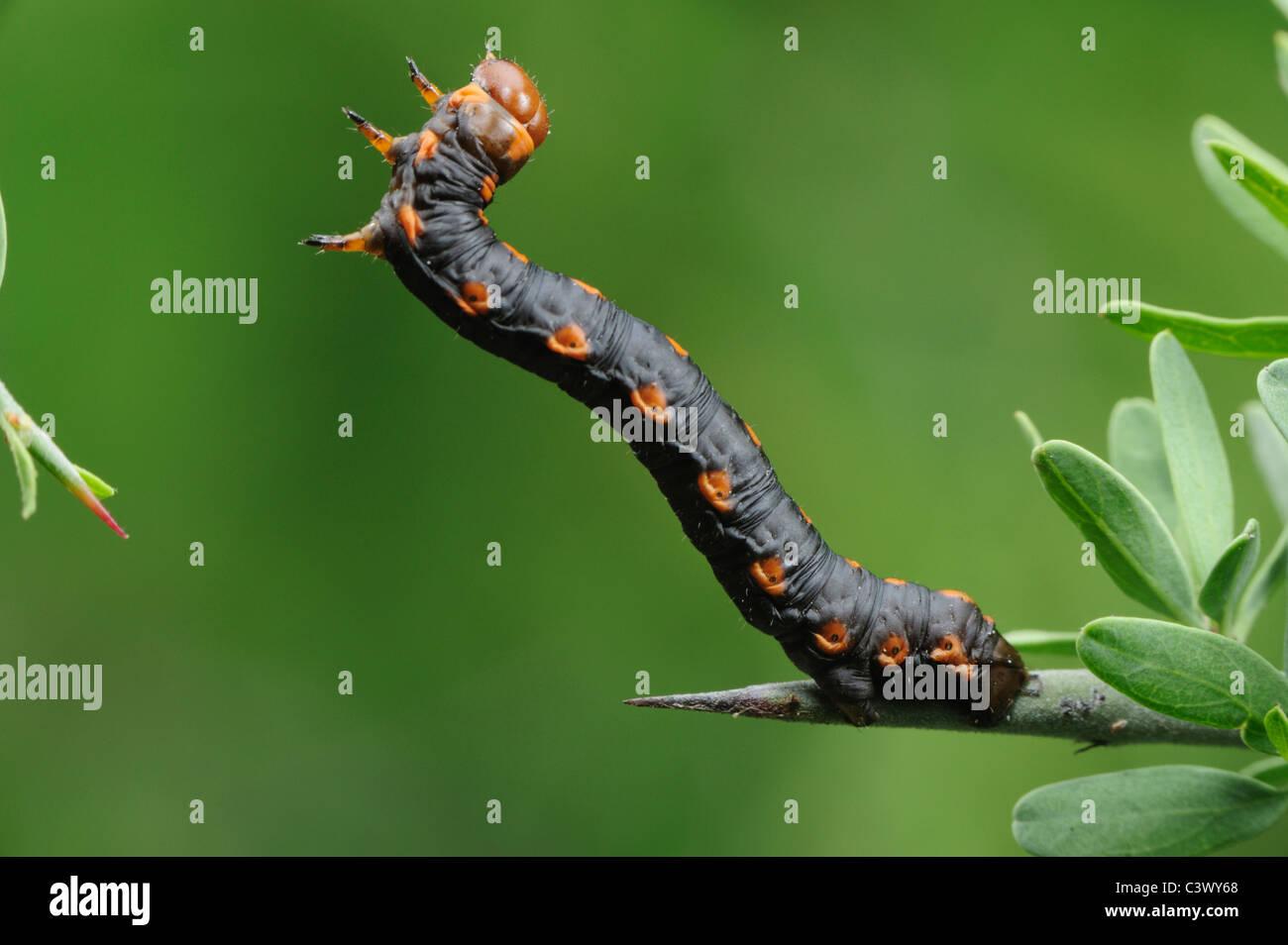 Measuringworm Moth (Geometridae), Raupe, Laredo, Webb County, South Texas, USA Stockbild