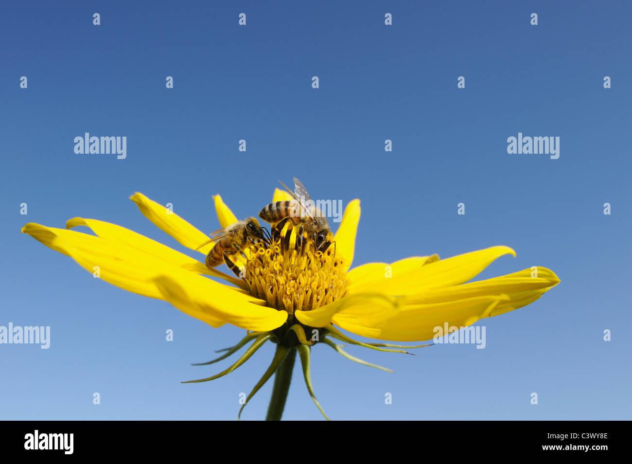 Honigbiene (Apis Mellifera), Erwachsene ernähren sich von Maximilians Sonnenblume (Helianthus Maximilianii), Stockbild