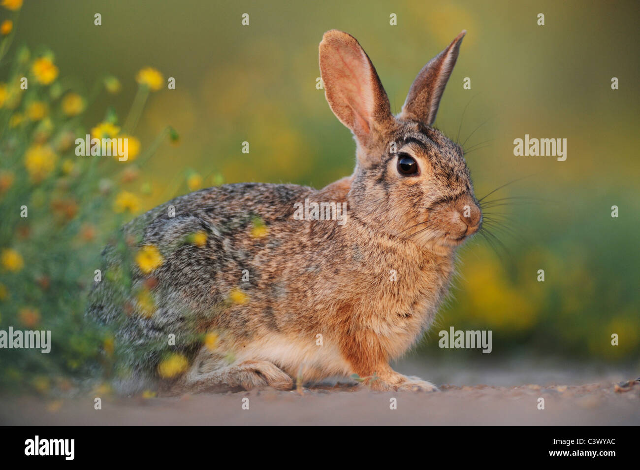 Östlichen Cottontail (Sylvilagus Floridanus), Erwachsene, Laredo, Webb County, South Texas, USA Stockfoto