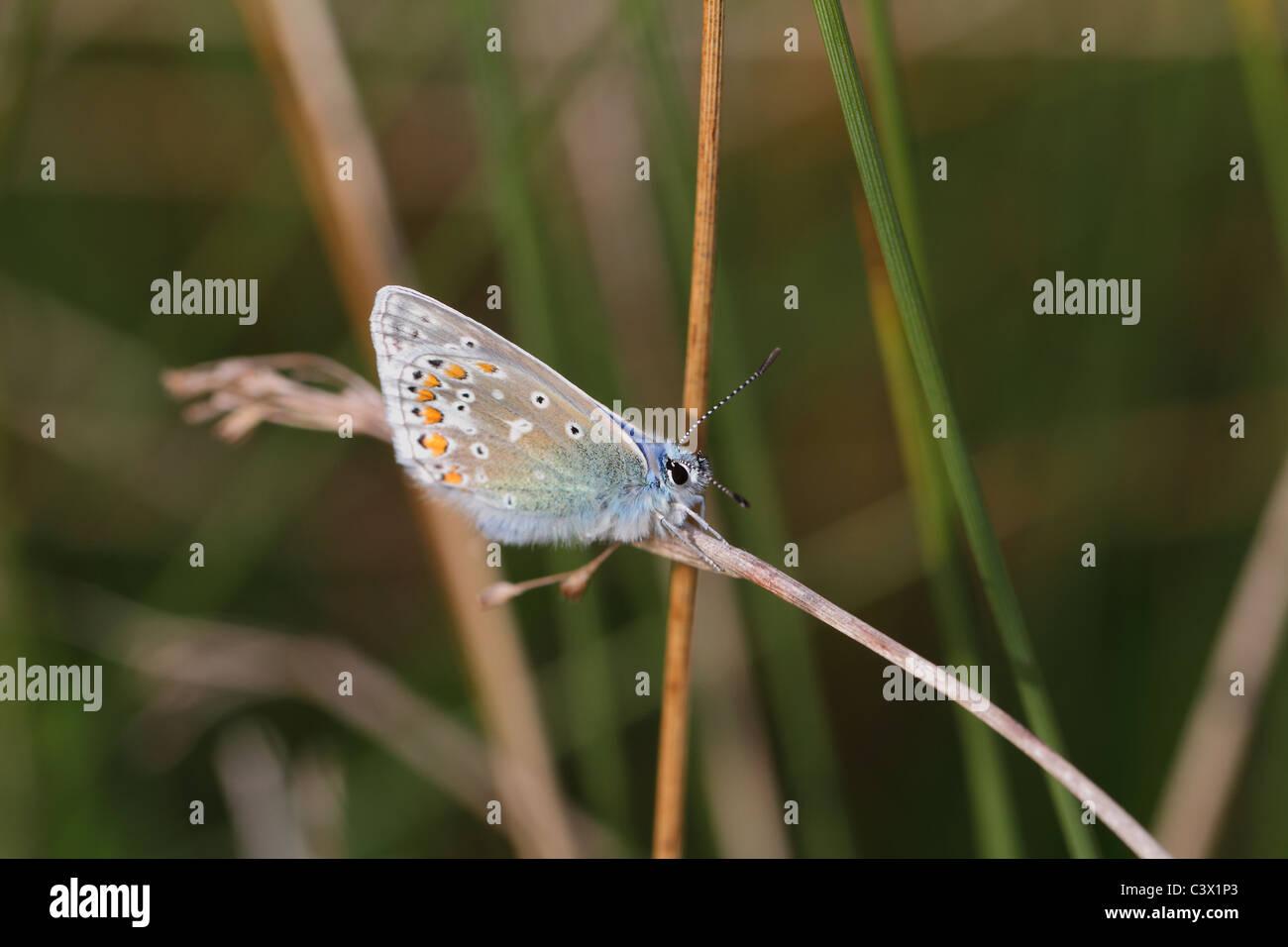 Detailansicht der gemeinsamen blauer Schmetterling Stockbild