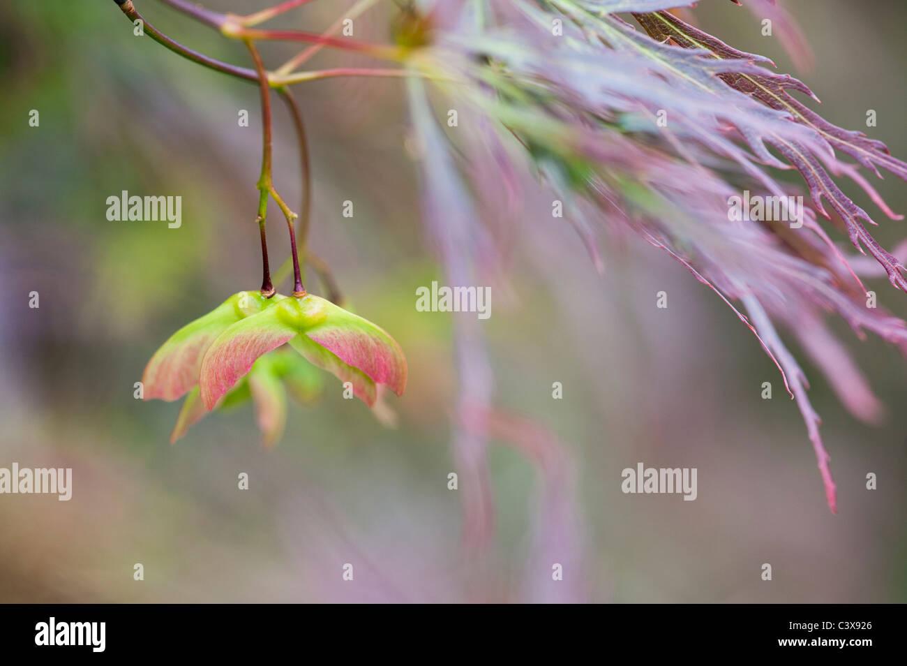Acer Palmatum var. Dissectum. Glatte japanischer Ahorn Baumblätter und Samenkapseln Stockfoto