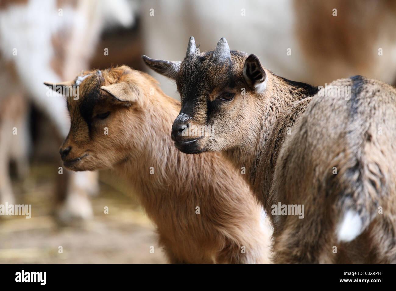 Zwei junge Ziegen zusammenstehen. Stockbild