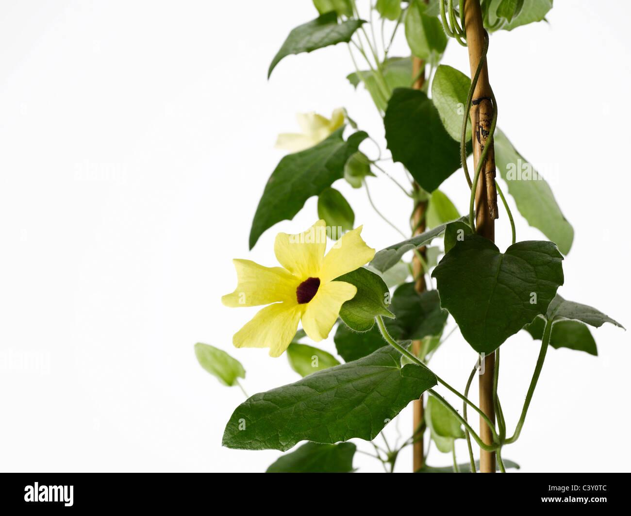 Blühenden Sonnenhut Thunbergia Rebe Spalier Stockbild