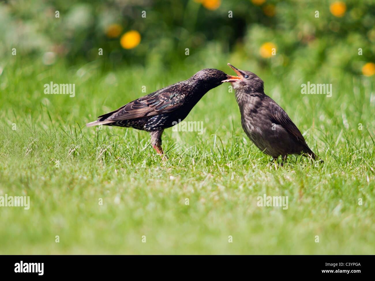 Vor kurzem flügge Starling Küken gefüttert von Erwachsenen, Warwickshire Stockbild