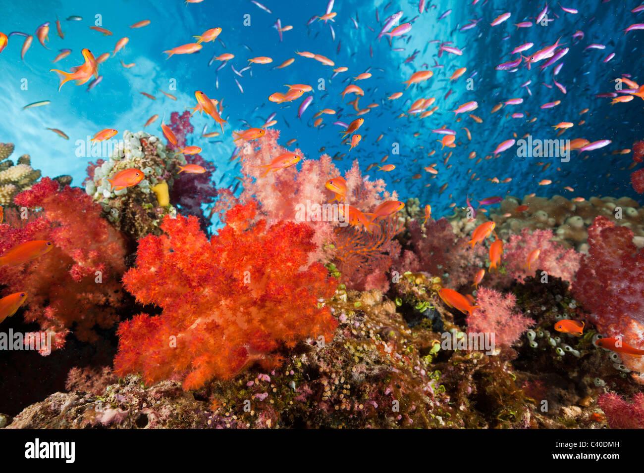 Bunte Korallenriff, Makogai, Lomaviti, Fidschi Stockbild