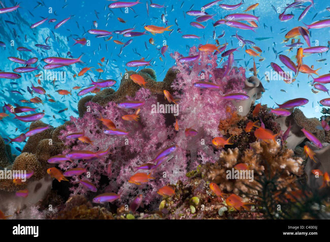 Bunte Korallenriff, Namena Marine Reserve, Fidschi Stockbild