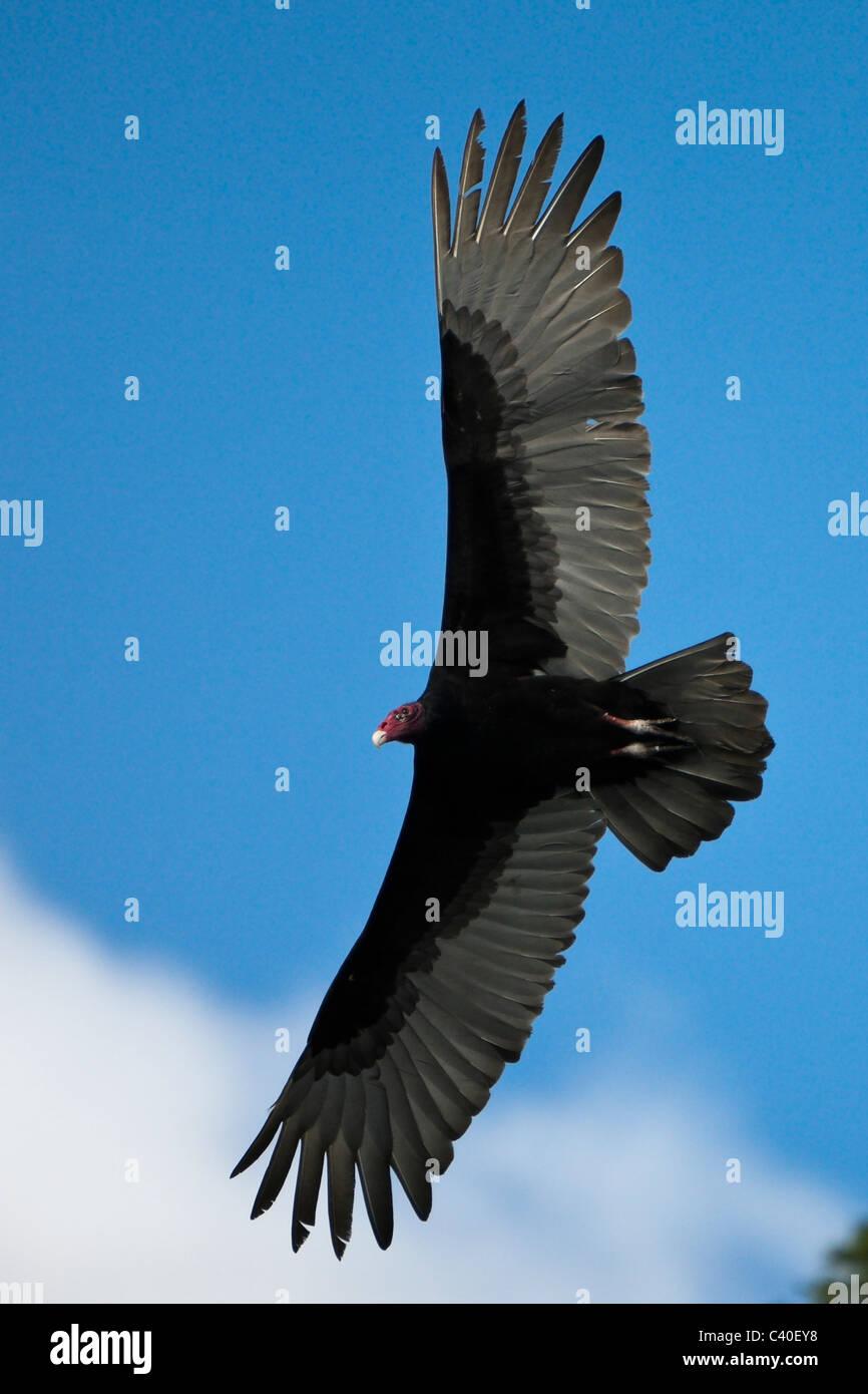 Türkei-Geier im Flug, Cathartes Aura, Nationalpark Los Haitises, Dominikanische Republik Stockbild