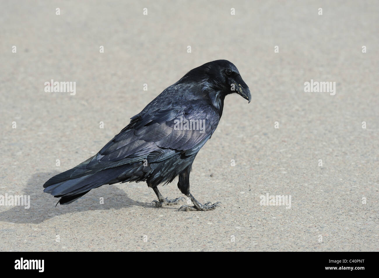 Rabe, Vogel, Corvus Corax, Corvidae Familie, Fort Smith, Nordwestgegenden, Kanada Stockbild