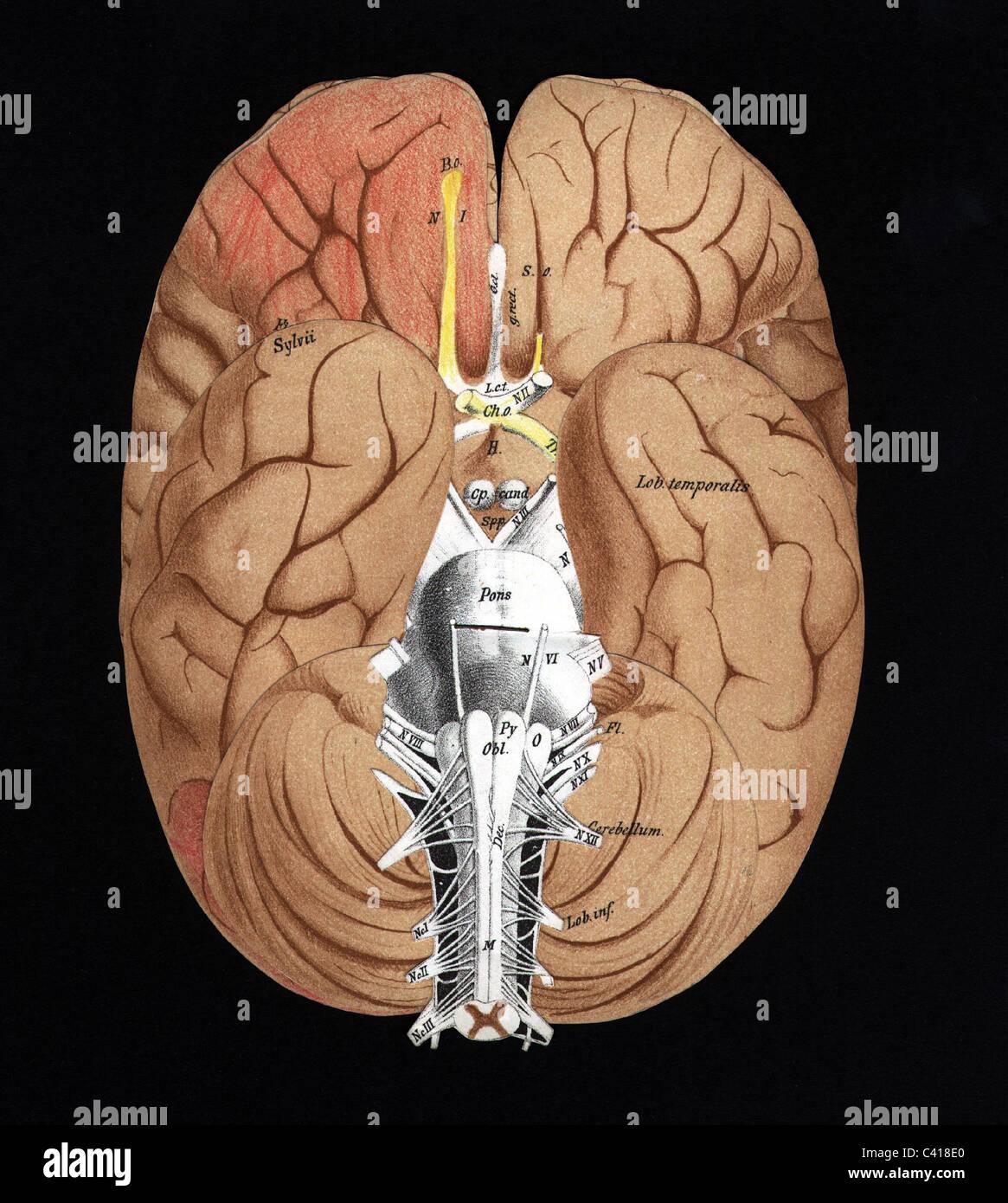 Ungewöhnlich Ct Anatomie Des Gehirns Galerie - Menschliche Anatomie ...