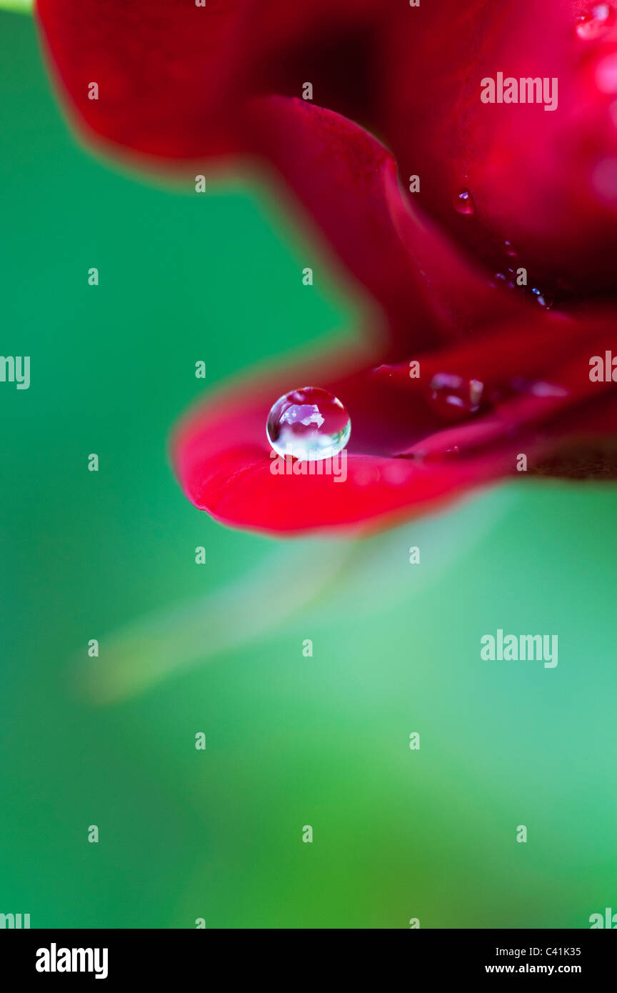 Regentropfen auf roten Rosenblüten vor einem grünen Hintergrund Stockbild