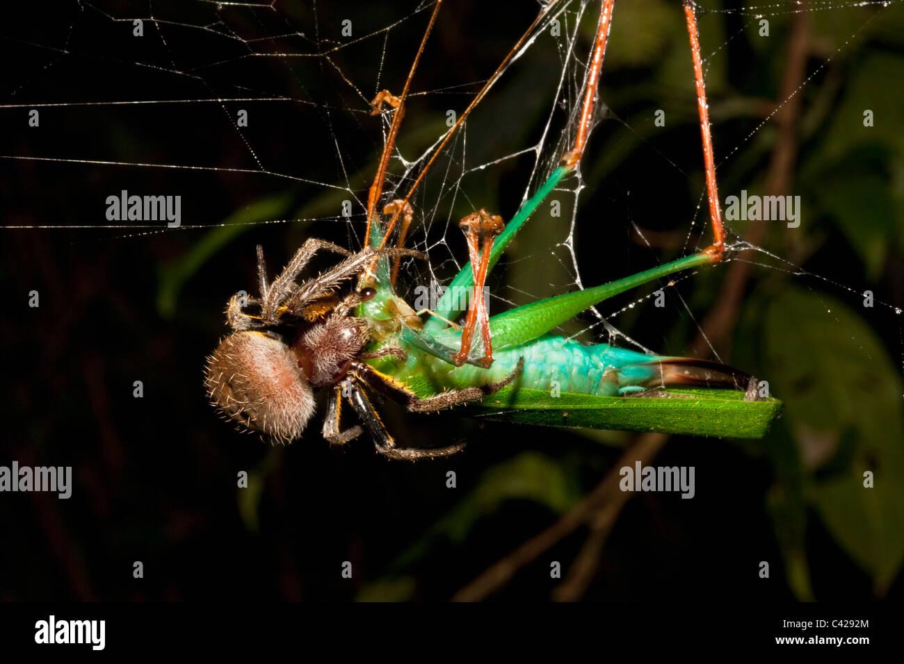 Peru, Boca Manu, Blanquillo, Manu Nationalpark, UNESCO-Weltkulturerbe. Spinne Essen Gottesanbeterin im Web. Stockbild