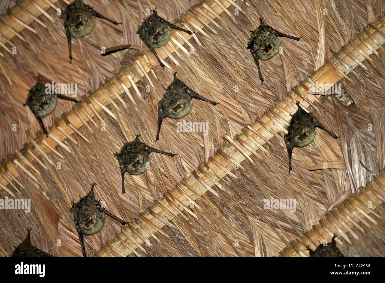 Peru, Boca Manu, Blanquillo, Manu Nationalpark, UNESCO-Weltkulturerbe. Fledermäuse. Stockbild