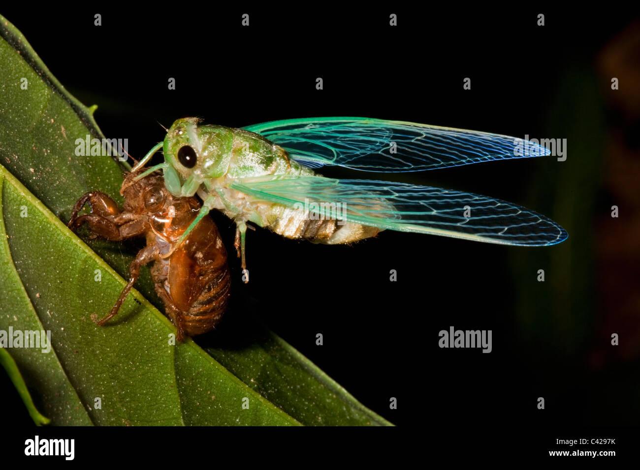 Peru, Boca Manu, Blanquillo, Manu Nationalpark, UNESCO-Weltkulturerbe. Zikade Nymphe Puppe herauskommen. Stockbild