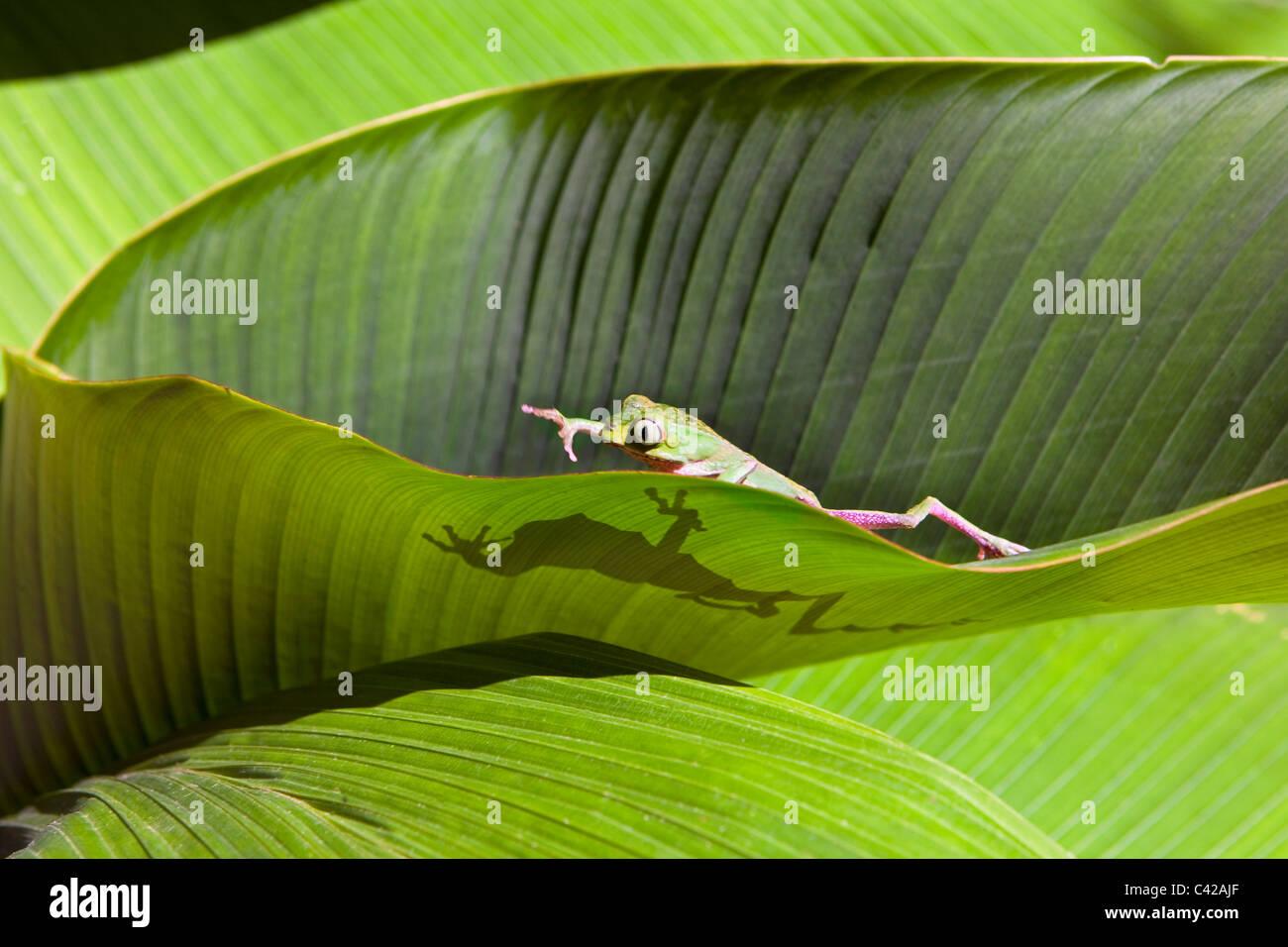 Peru, Cruz de Mayo, Manu Nationalpark, Fredy Berge. Weiß gesäumt Blatt Frosch ((Phyllomedusa Vaillanti). Stockbild