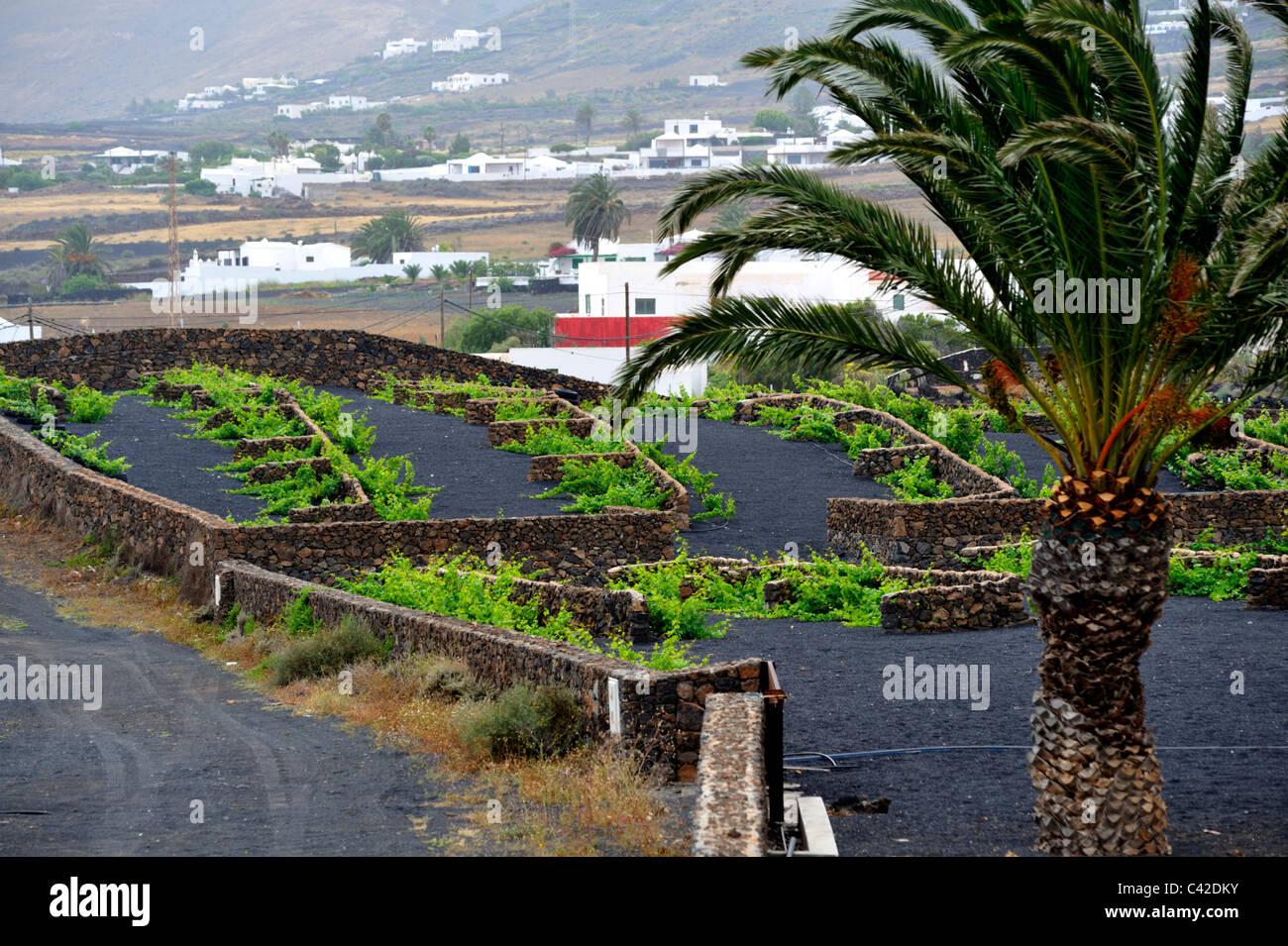 Wachsende Weinberge in der trockenen vulkanischen Klima Lanzarotes mit Steinmauer, Pflanzen zu schützen. Außen Stockbild