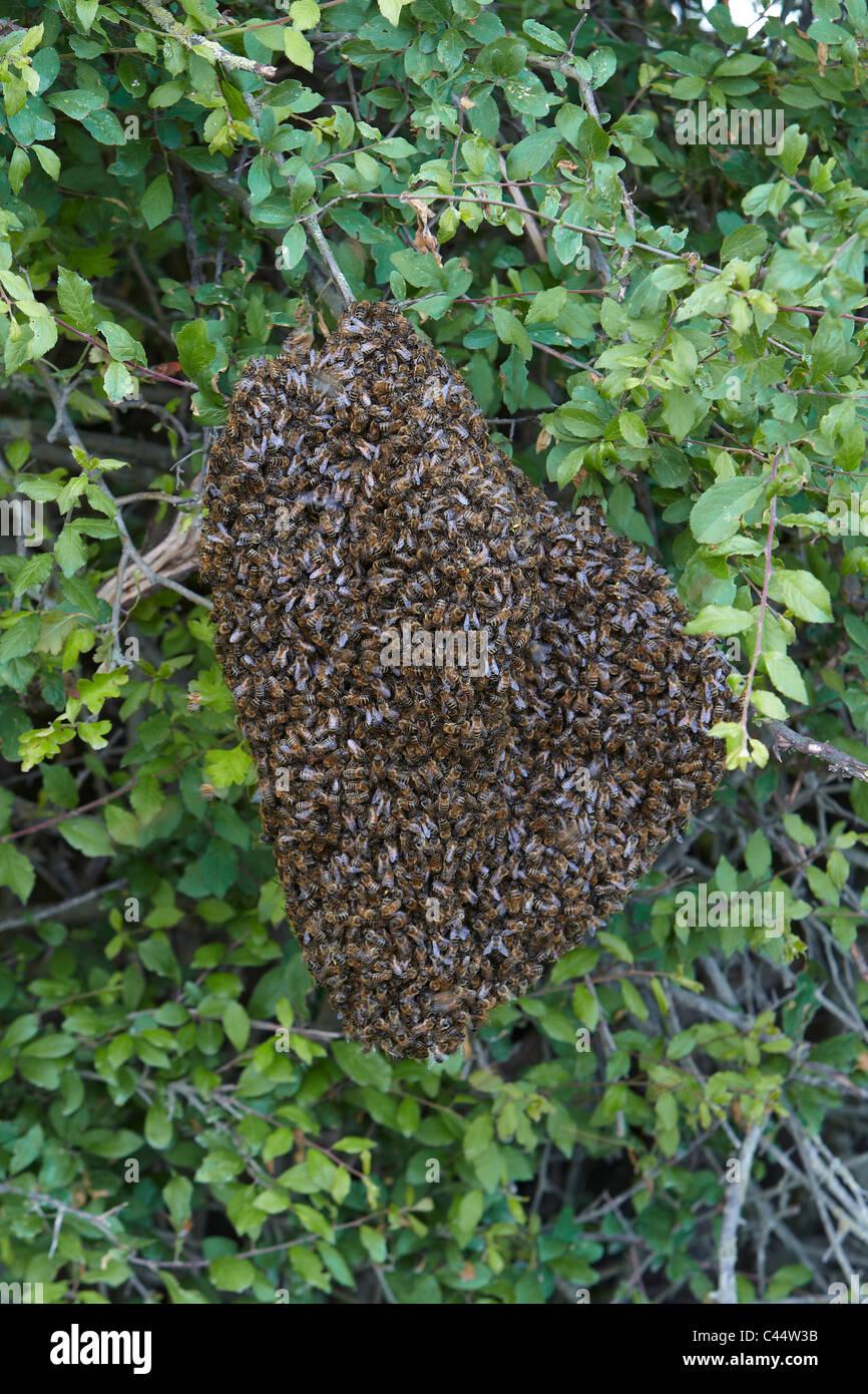 Honig-Bienen schwärmen in eine Hecke, East Yorkshire, UK. Bienenschwarm Stockbild