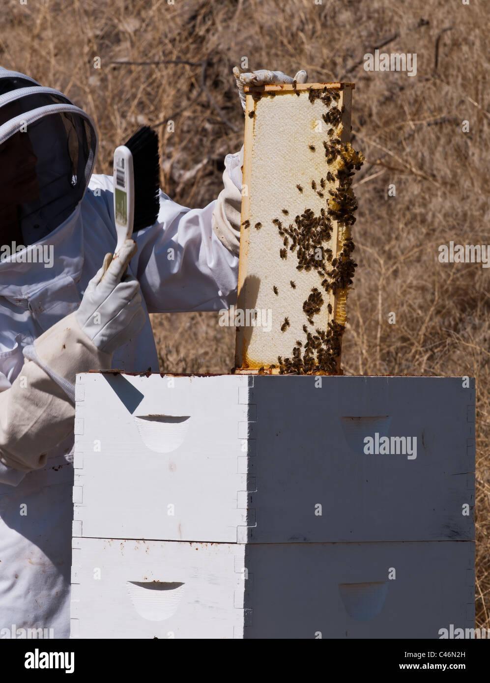 Ein Hobby-Imker in Stevensville, Montana-Züge, die die Bienen aus ...