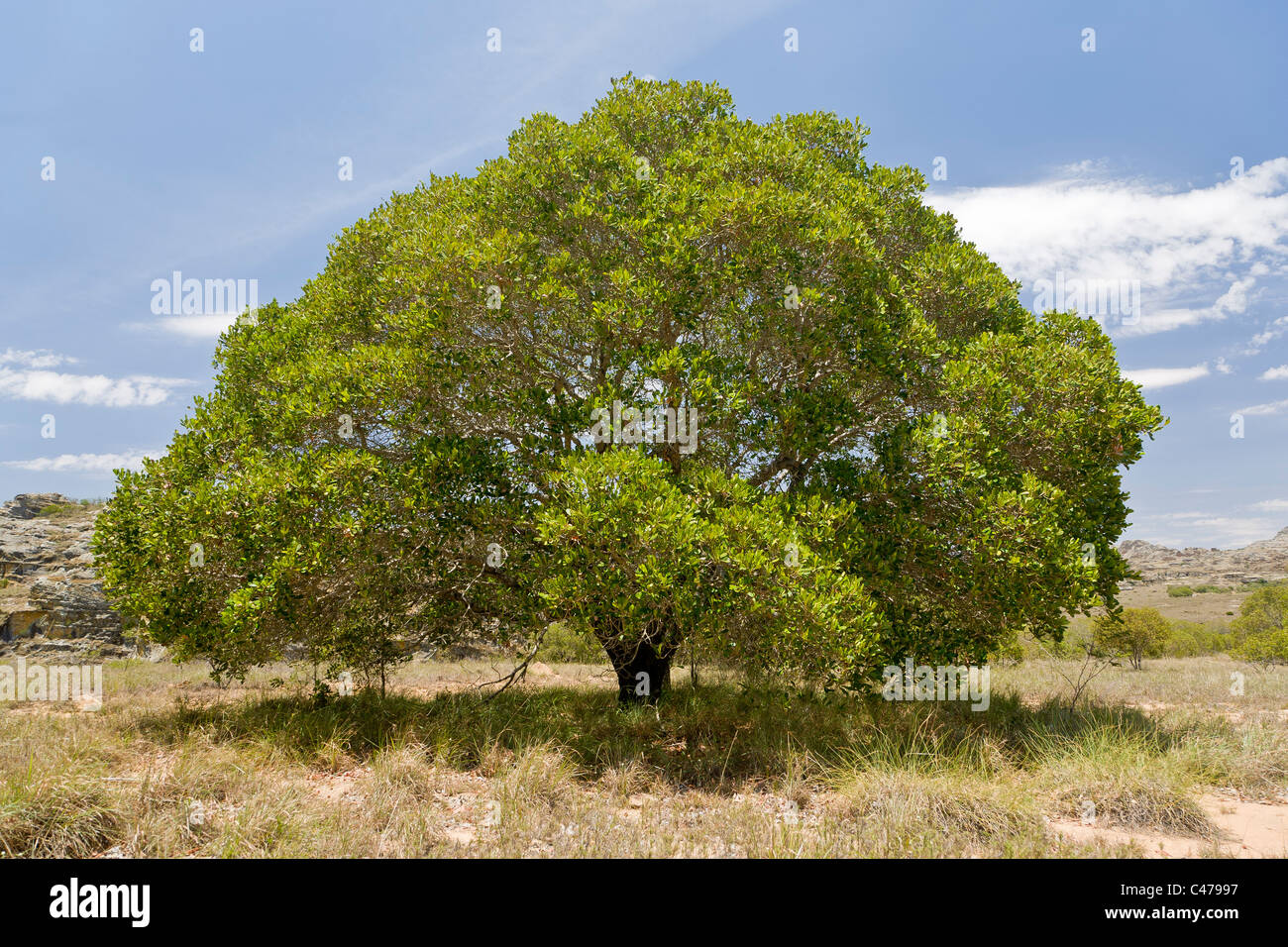 Tapia Baum, Isalo Nationalpark, Madagaskar Stockbild