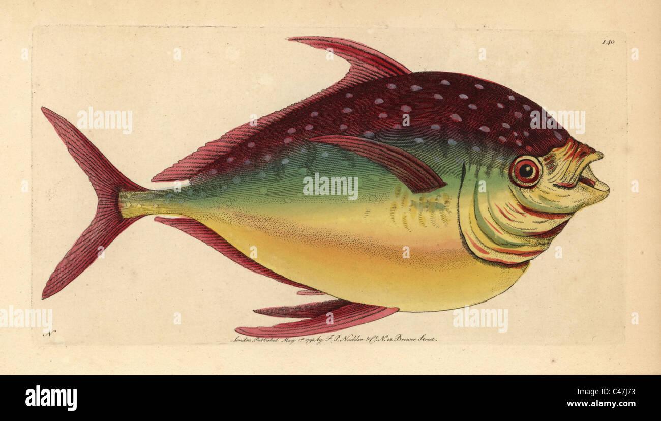 Opah Fisch, Lampris Guttatus. Stockfoto