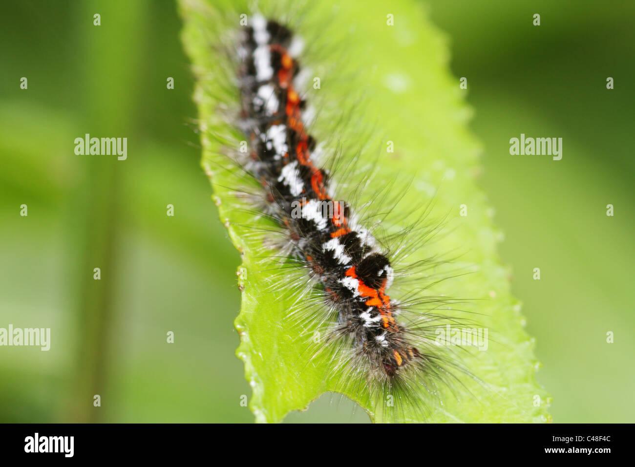 Gelb-Tail, Goldtail Motte oder Swan Moth (Euproctis Similis) Caterpillar Stockbild