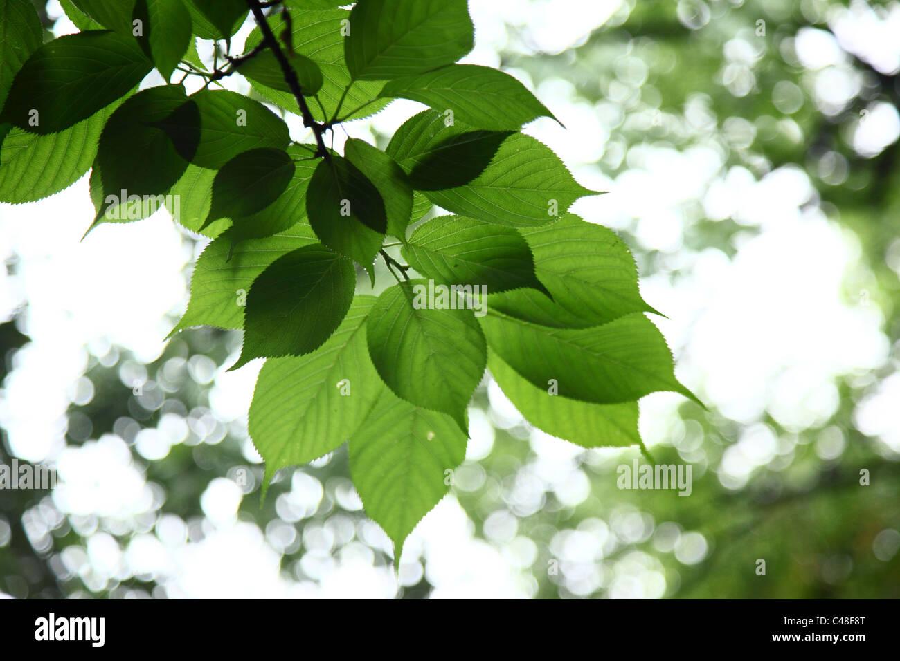 Detail der grünen Blätter am Baum Stockbild