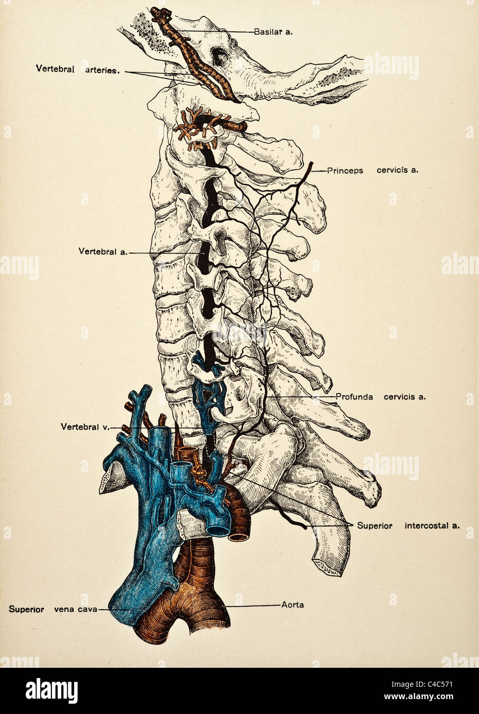 Neck And Head Arteries Stockfotos & Neck And Head Arteries Bilder ...