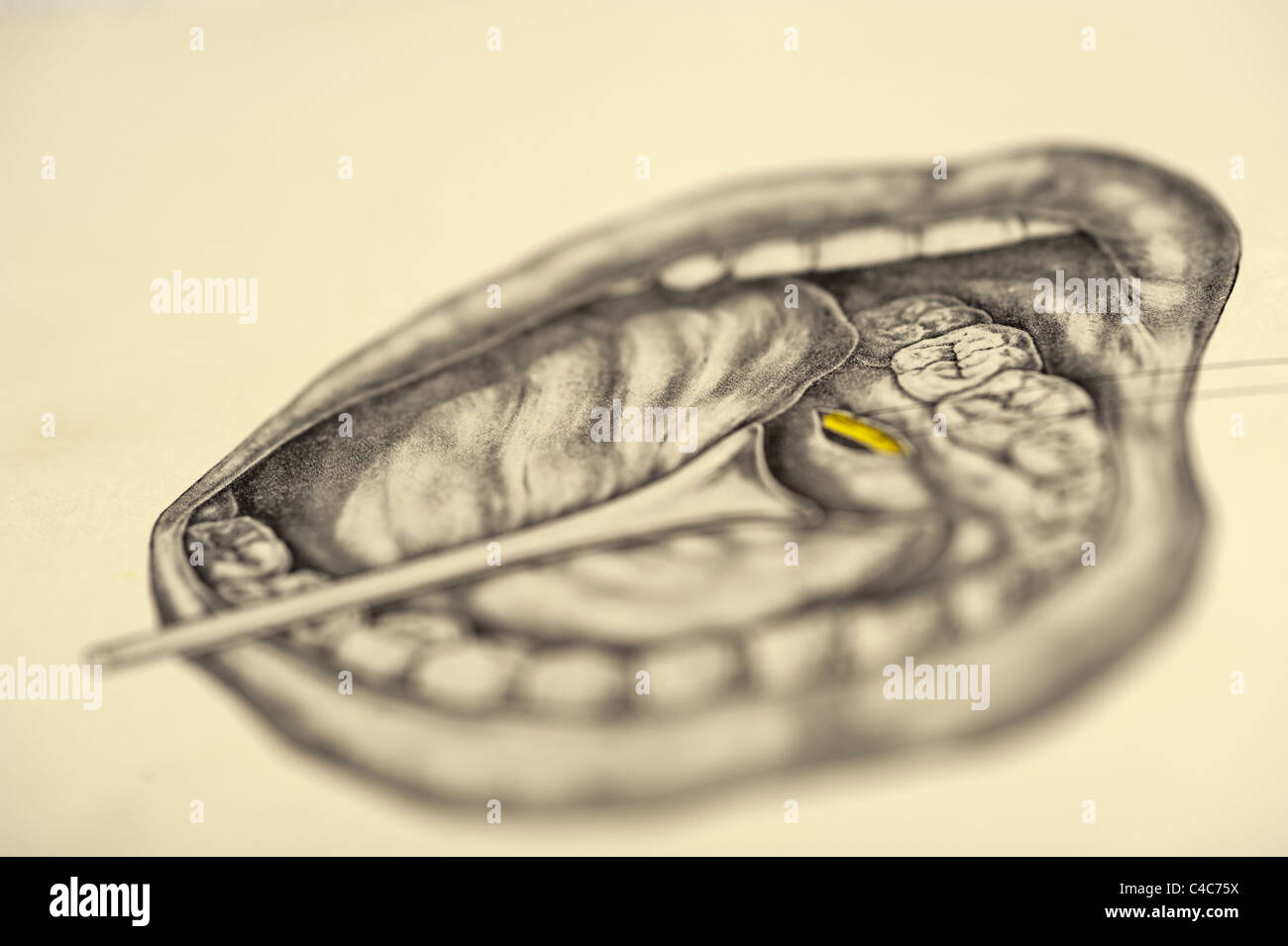 Tonsils And Tongue Stockfotos & Tonsils And Tongue Bilder - Alamy