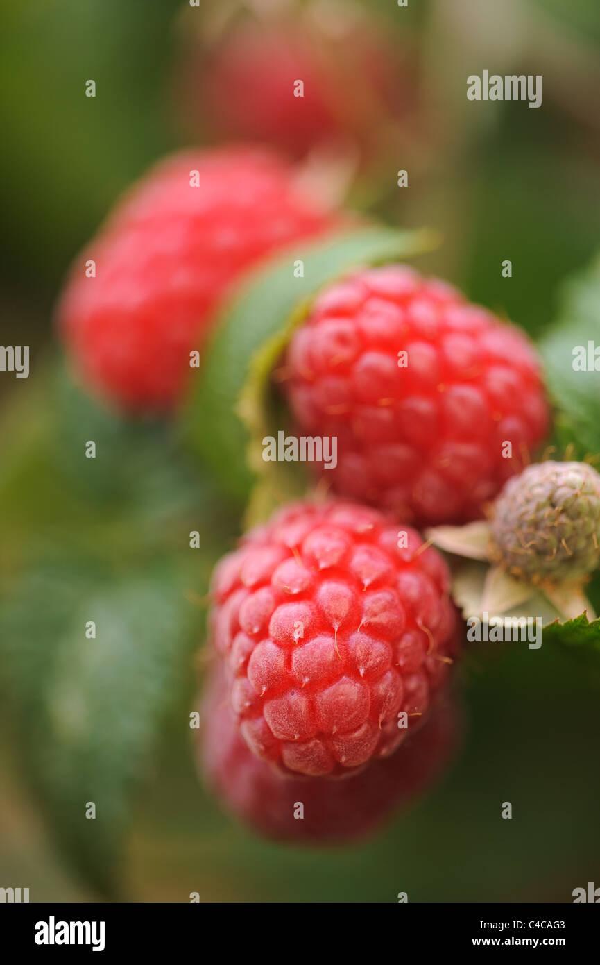 Rote Himbeere Obstbau auf Grünpflanze Stockbild