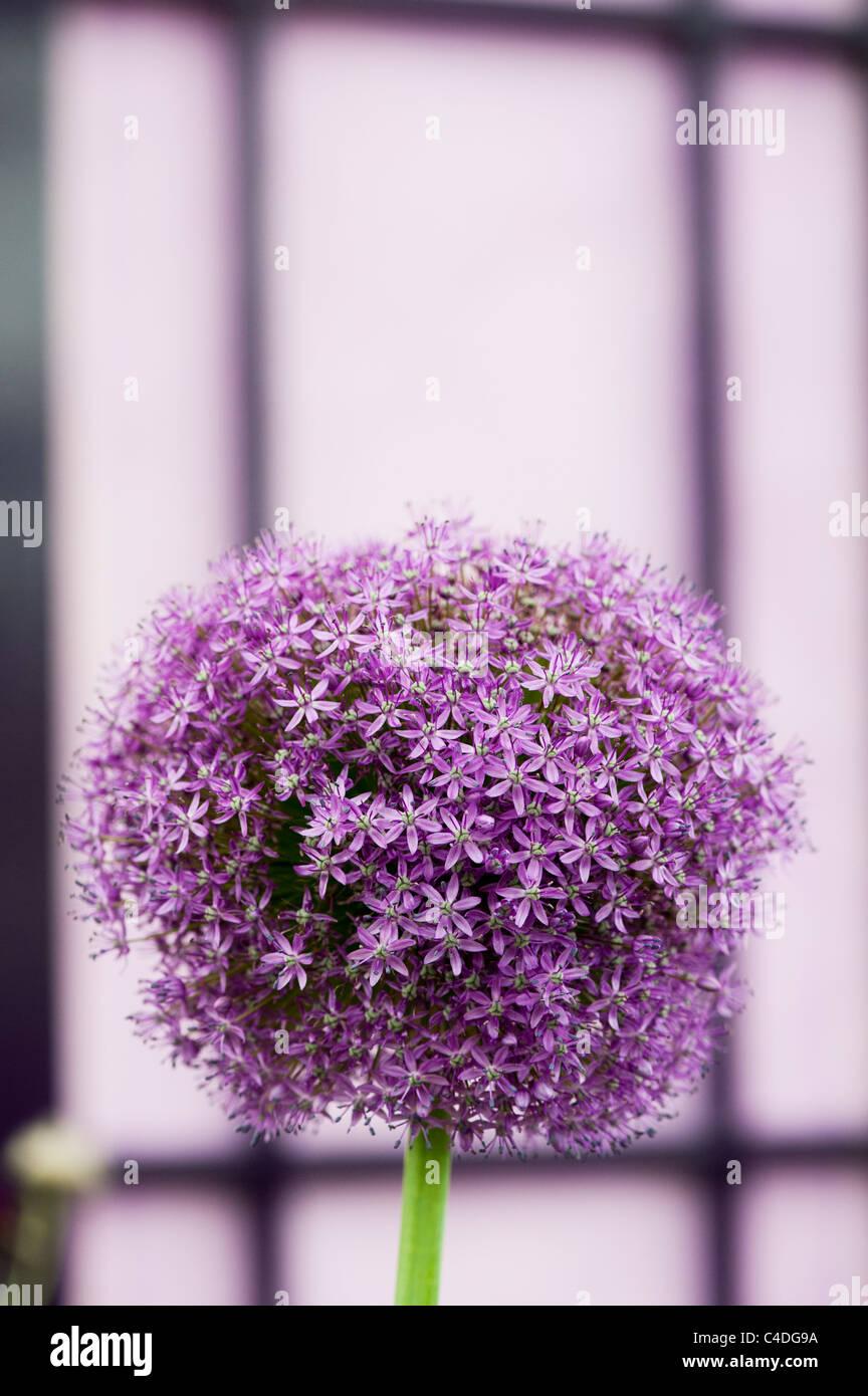 Allium Botschafter Blume lila Tür. Ornamentale Zwiebel Stockbild