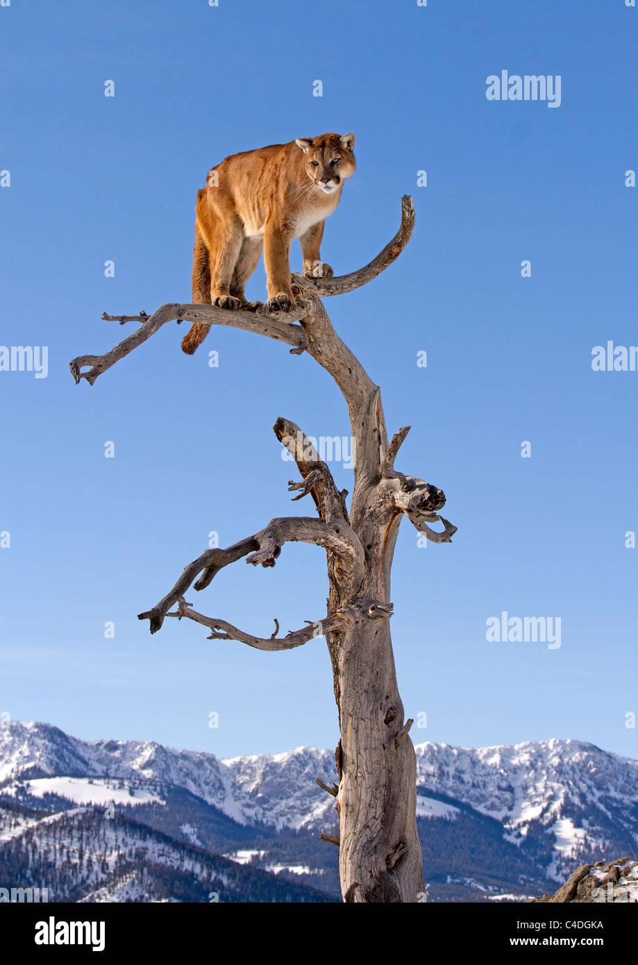 Berglöwen, Felis Concolor auf einen Baum Stockbild